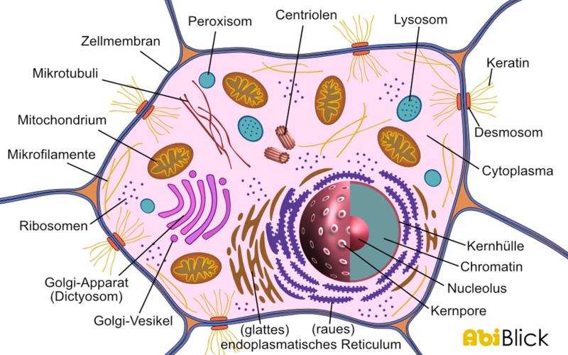 vergleich bakterienzelle tierzelle pflanzenzelle tabelle