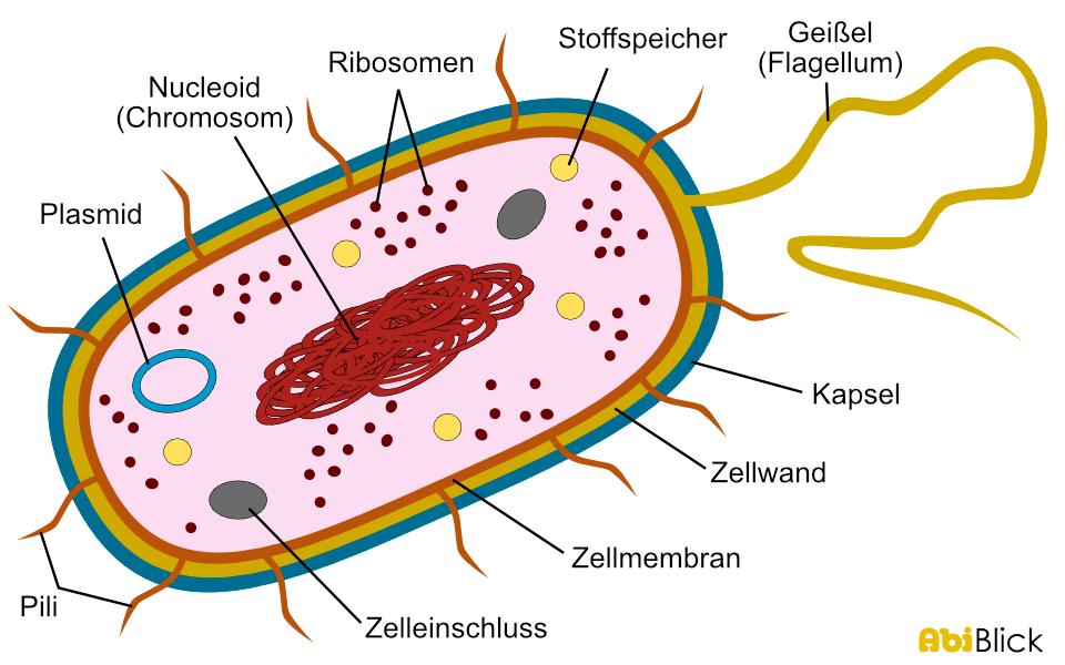 Haben Viren Einen Zellkern